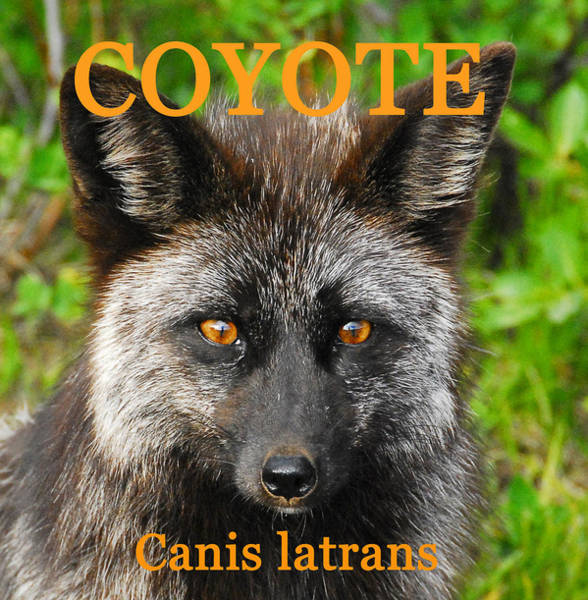 Wall Art - Photograph - Coyote Poster Work One by David Lee Thompson