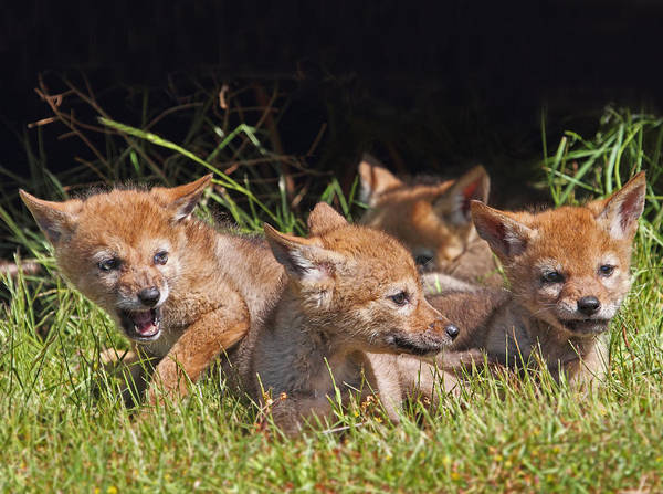 Photograph - Coyote Pups by Peggy Collins