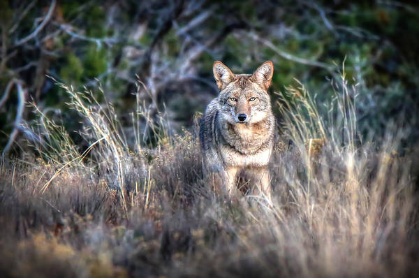 Photograph - Coyote Stare Down by Ryan Smith