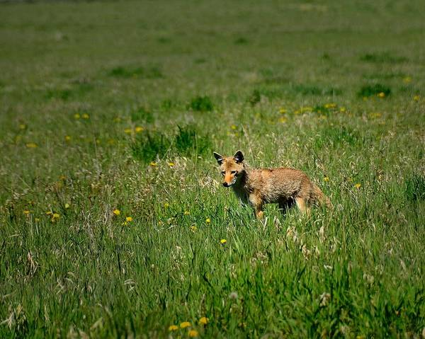 Photograph - Coyote by Walt Sterneman