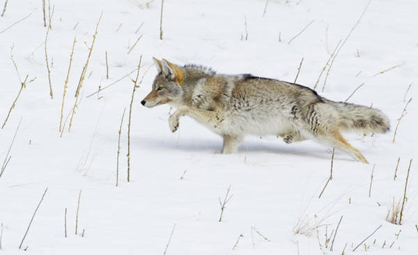 Wall Art - Photograph - Coyote, Winter Stalking by Ken Archer