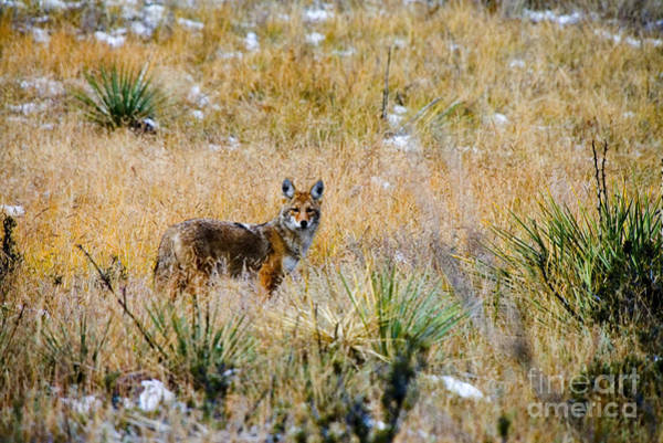 Photograph - Coyotes by Steve Krull