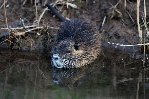 Coypu Art Print by Photostock-israel