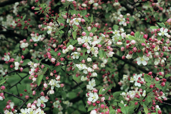 Malus Photograph - Crab Apple Flowers by Jim D Saul/science Photo Library