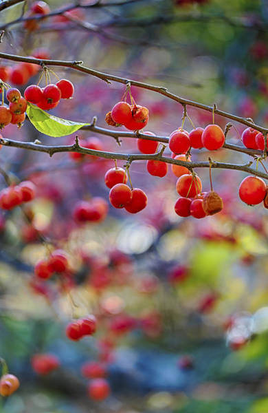 Photograph - Crab Apples 2 by Scott Campbell