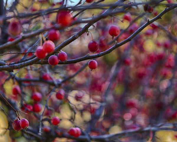 Photograph - Crab Apples 3 by Scott Campbell