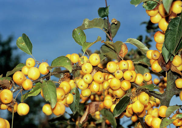 Malus Photograph - Crab Apples by Brian Gadsby/science Photo Library