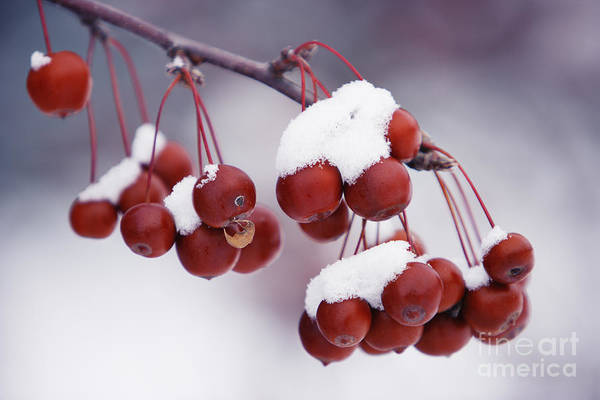 Photograph - Crab Apples Fruit And Snow by Wave Royalty Free