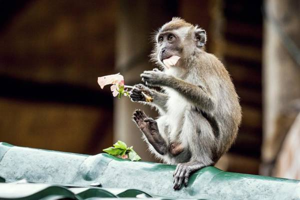 Monkey Flower Wall Art - Photograph - Crab-eating Macaque by Paul Williams