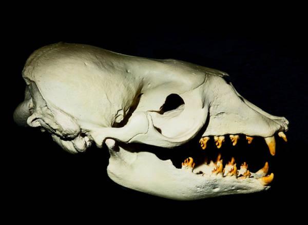 Wall Art - Photograph - Crab Eating Seal Skull by Millard H. Sharp
