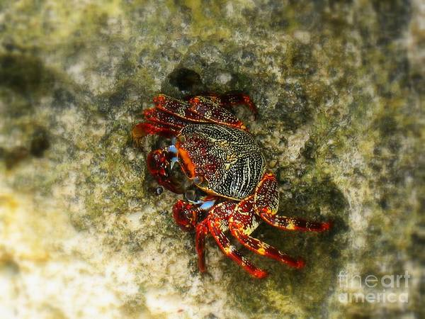 Photograph - Crab In Cozumel by Patti Whitten