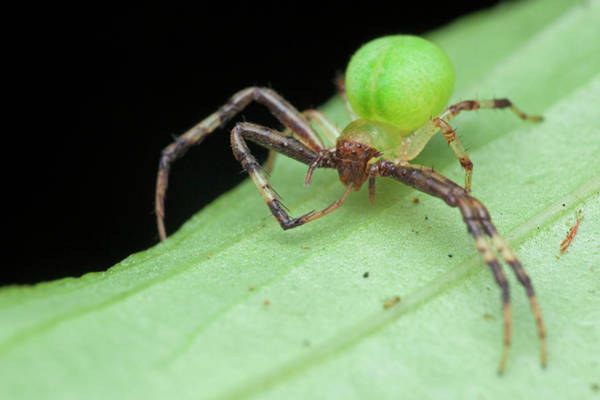 Wall Art - Photograph - Crab Spider On A Leaf by Melvyn Yeo/science Photo Library