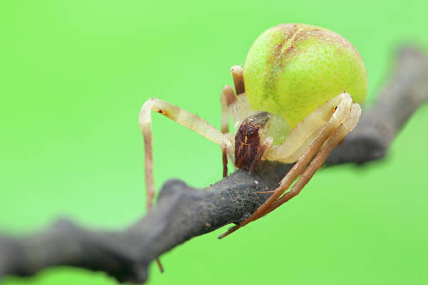 Wall Art - Photograph - Crab Spider On Branch by Melvyn Yeo/science Photo Library