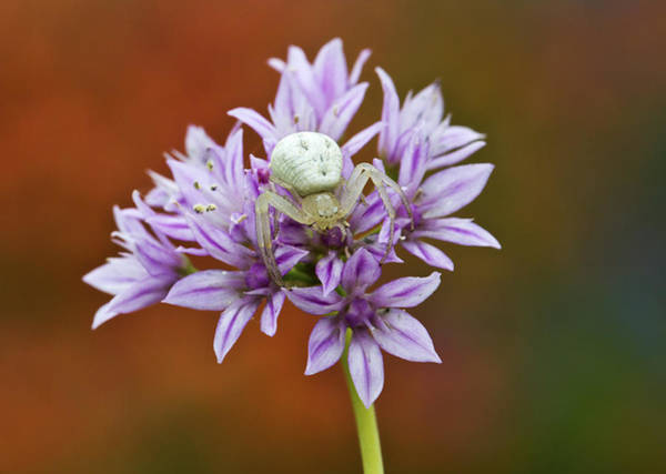 Photograph - Crab Spider On Wild Garlic by Steven Schwartzman