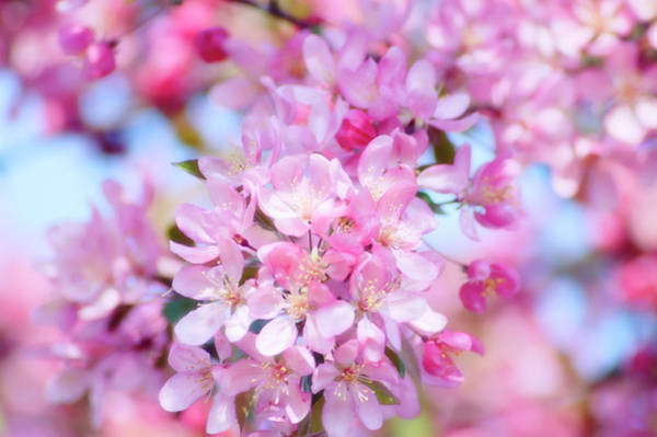 Malus Photograph - Crabapple Blossom (malus Coronaria) by Maria Mosolova/science Photo Library