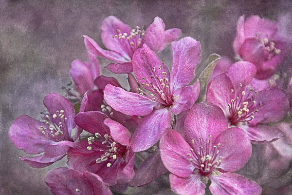 Photograph - Crabapple Floral by Theo O'Connor