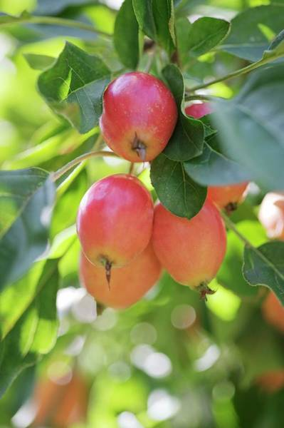 Malus Photograph - Crabapple Fruits (malus Sp.) by Gustoimages/science Photo Library