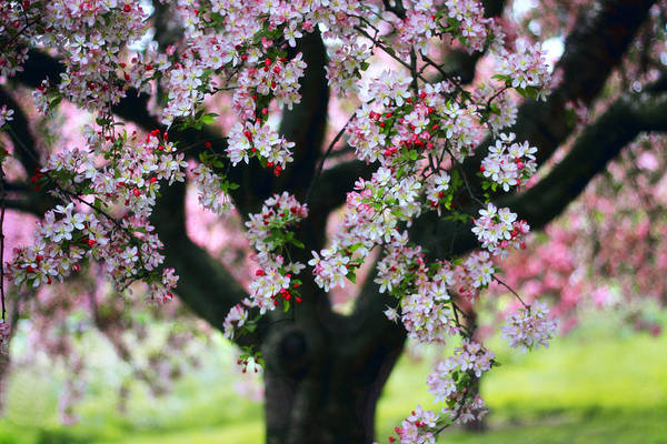 Photograph - Crabapple Tree by Jessica Jenney