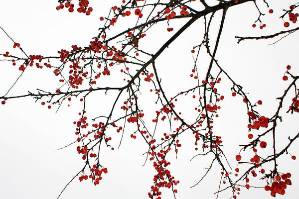 Photograph - Crabapples I by Gerry Bates