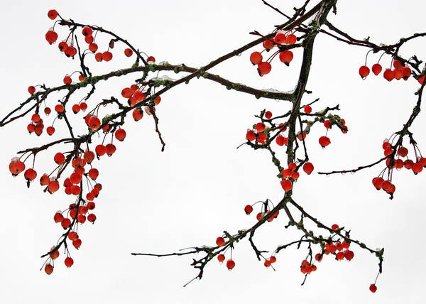 Photograph - Crabapples II by Gerry Bates