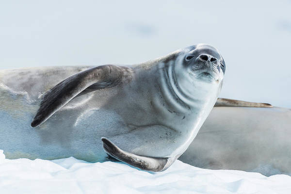 Wall Art - Photograph - Crabeater Seal  Lobodon Carcinophaga by Nick Dale