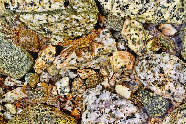 Photograph - Crabs On The Rocks by Peggy Collins