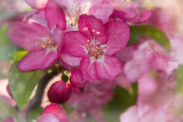 Photograph - Crabtree Blossoms by Jemmy Archer