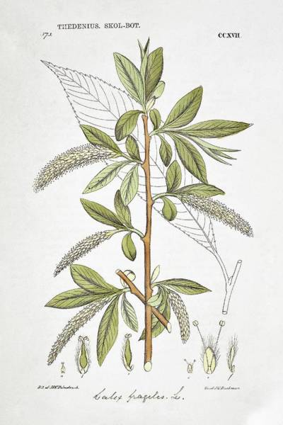 Wall Art - Photograph - Crack Willow Salix Fragilis by Natural History Museum, London/science Photo Library