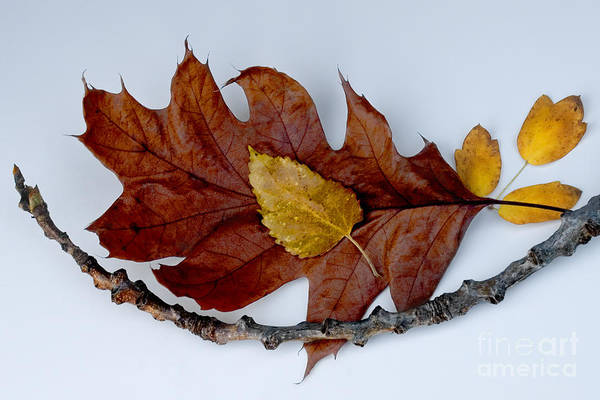 Photograph - Cradled Leaves by Michael Arend