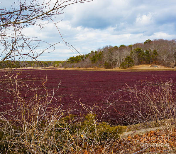 Photograph - Cranberry Fields Forever by Michelle Constantine