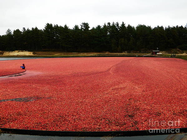 Photograph - Cranberry Harvest 2 by Andrea Anderegg