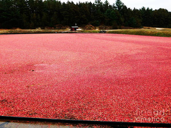 Photograph - Cranberry Harvest 4 by Andrea Anderegg
