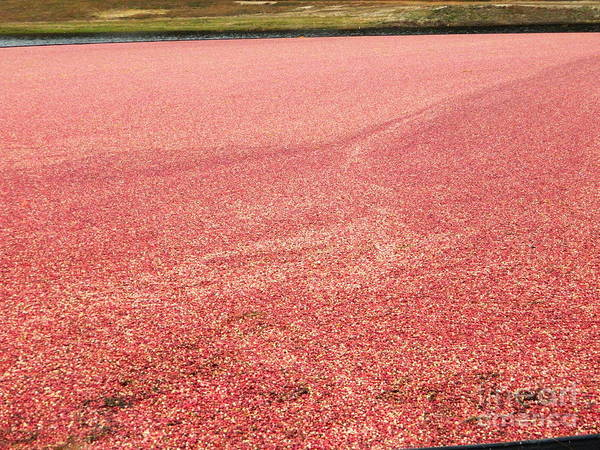Photograph - Cranberry Harvest by Andrea Anderegg