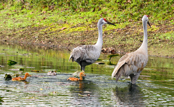 Photograph - Crane Family Swim II by Susan Molnar
