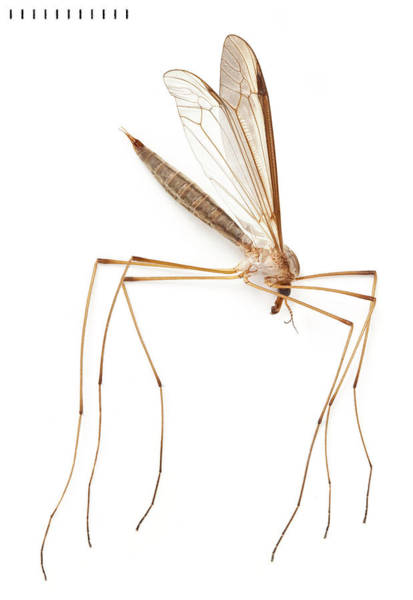 Daddy Long Legs Photograph - Cranefly by Natural History Museum, London