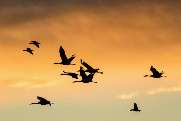 Bosque Del Apache Photograph - Cranes And Geese Flying, Bosque Del by Maresa Pryor