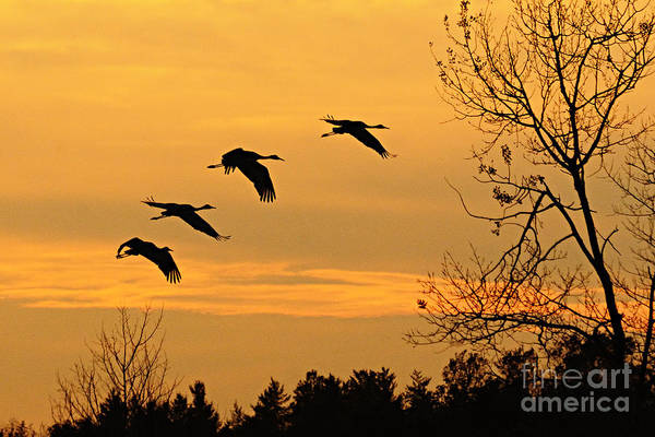 Photograph - Cranes At Sunset by Larry Ricker