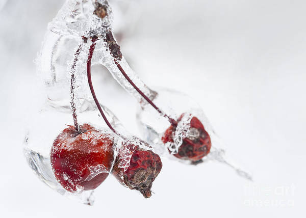 Photograph - Crab Apples In Ice by Elena Elisseeva