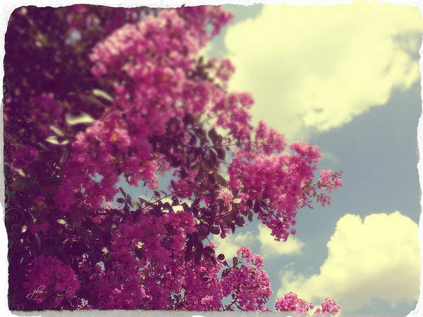 Photograph - Crape Myrtles by Paulette B Wright