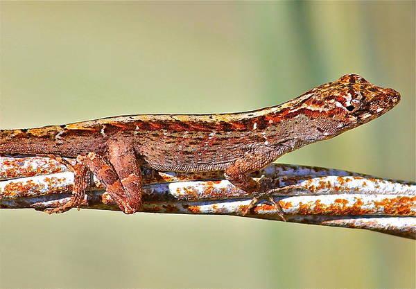 Photograph - Crawling Lizard by Cyril Maza