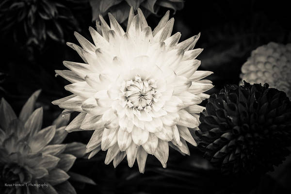 Photograph - Cream Flowers  by Ross Henton