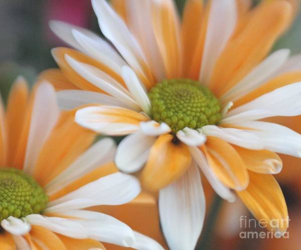 Photograph - Creamsicle Daisies by Mary Lou Chmura