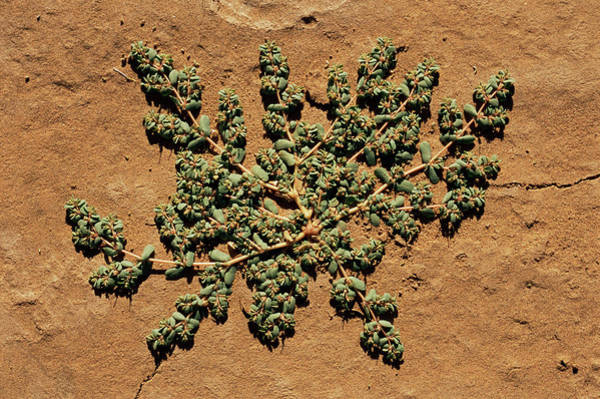 Sahara Photograph - Creeping Desert Plant by Sinclair Stammers/science Photo Library
