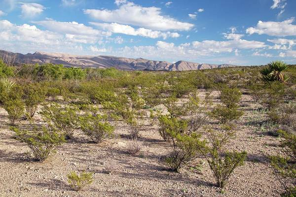 Chihuahuan Desert Photograph - Creosote Bushes (larrea Tridentata) by Bob Gibbons/science Photo Library