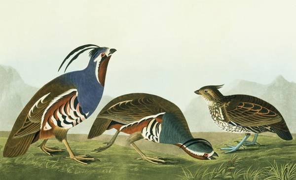 Wall Art - Photograph - Crested Bobwhite And Mountain Quail by Natural History Museum, London/science Photo Library