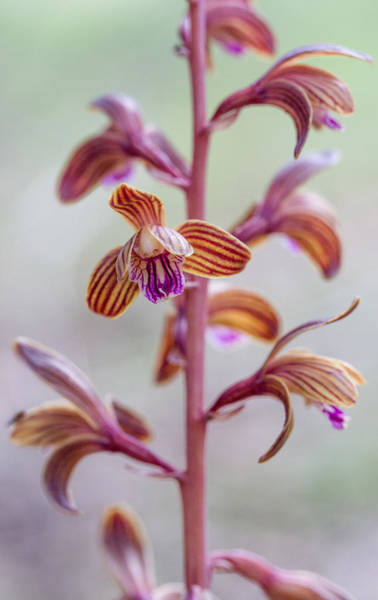 Photograph - Crested Coral Root Orchid by Steven Schwartzman