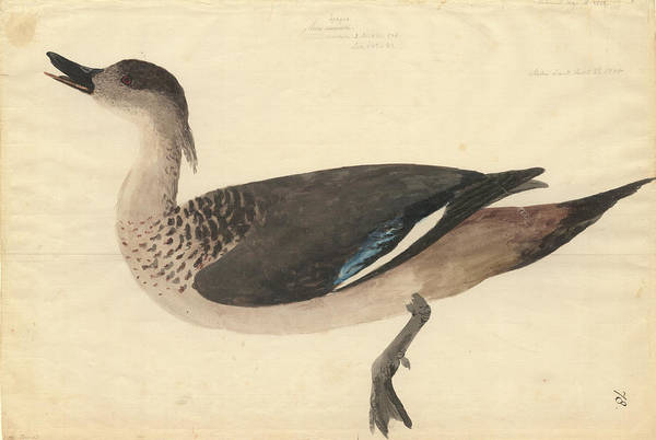 Anatidae Wall Art - Photograph - Crested Duck by Natural History Museum, London