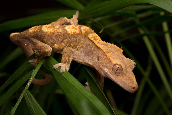 Wall Art - Photograph - Crested Gecko Rhacodactylus Ciliatus by David Kenny