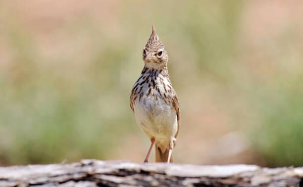 Passeriformes Photograph - Crested Lark by Dr P. Marazzi