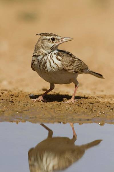 Arid Climate Wall Art - Photograph - Crested Lark (galerida Cristata) by Photostock-israel